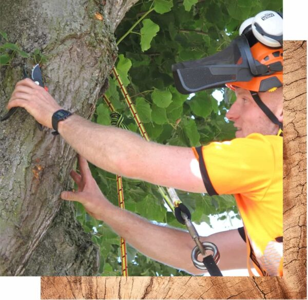 A Streetwise Tree Surgeon working in West Bridgford. In hi-viz t-shirt holds onto a thick tree branch. He is safely attached to the tree via a pulley and he wears an orange helmet with a black visor on his head.