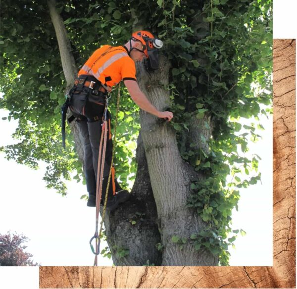 Streetwise tree surgeon removing epicormic growth in Rushcliffe