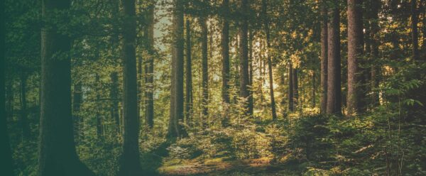 A dense leafy forest full of green trees and dark thin tree trunks