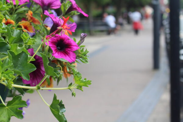 A close up of a hanging basket of colourful flowers. The flowers are dark pink with dark purple centres, and there are small orange flowers mixed with them. The street is blurred to the right of the image showing people walking into the distance.