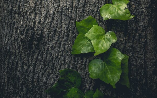 A close up image of a dark tree trunk with green ivy leaves standing out on the right side of the trunk.